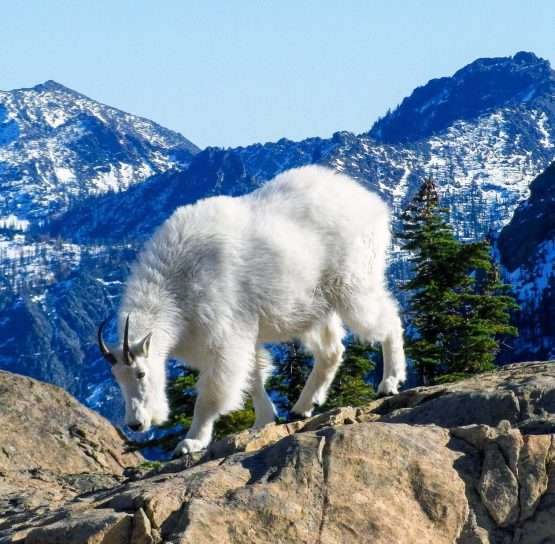 Goat on Mountain Bike High Cascades tour