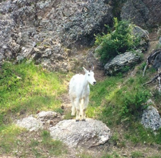 Goat on Mickelson Trail Bike Tour
