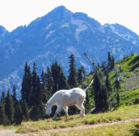 Goat on the Olympic National Park Hiking Tour