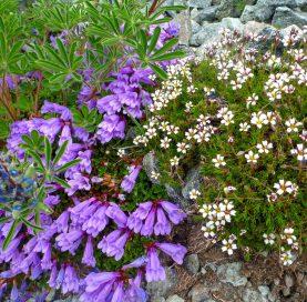 Flowers on the Volcanoes of Washington Tour