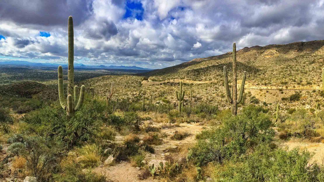 Cacti in Sonora, Arizona